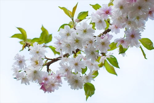 japanese cherry tree pictures. japanese cherry tree branch.