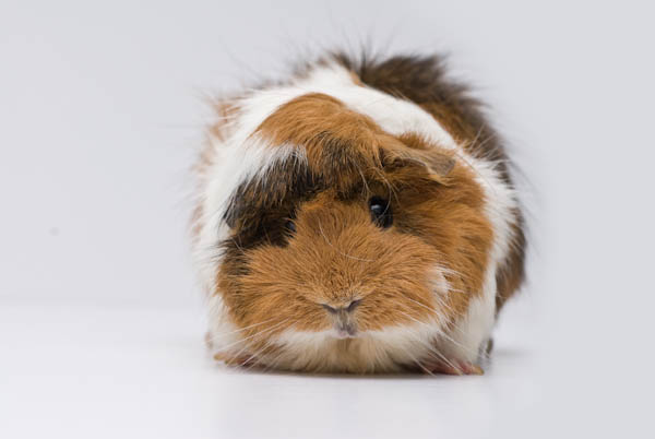 Long-Haired 'Abyssinian' Guinea Pig - Quillcards Ecard