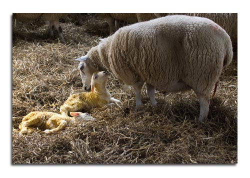 Lambing At Hurries Farm In The Yorkshire Dales - Quillcards Blog