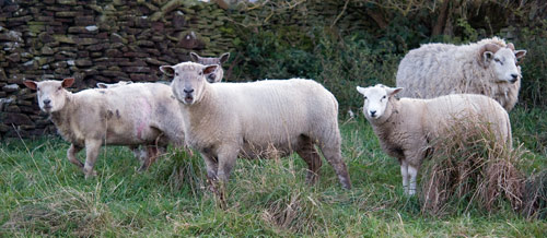 sheep_in_haworth