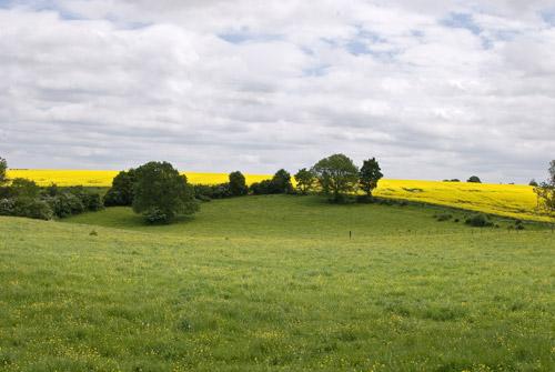 yellow-rapeseed-fields