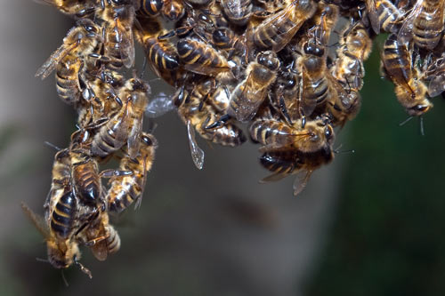 bees-chaining