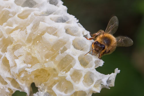 honeybee-on-honeycomb