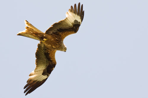 red-kite-folding-wings