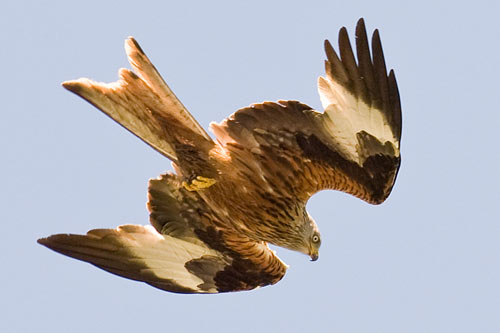 red-kite-with-folded-wings