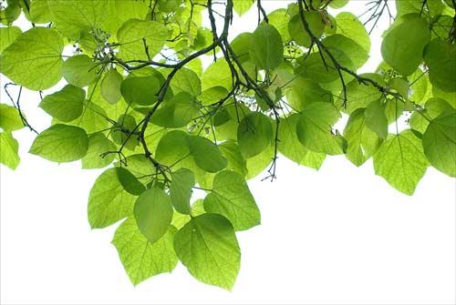 Bignonia Leaves