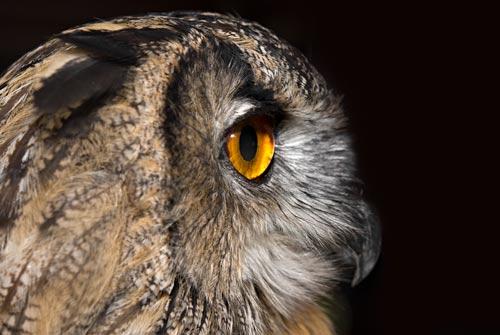 eagle-owl-profile
