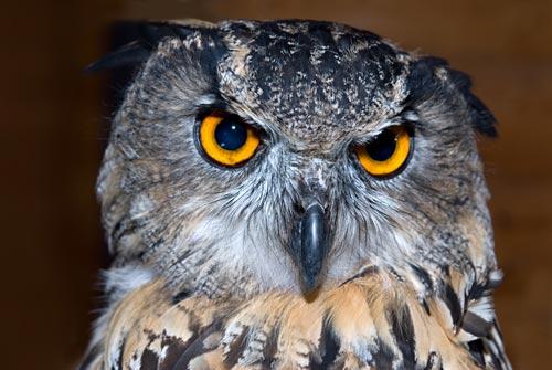 eagle-owl