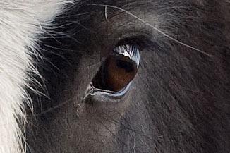 horse-eye