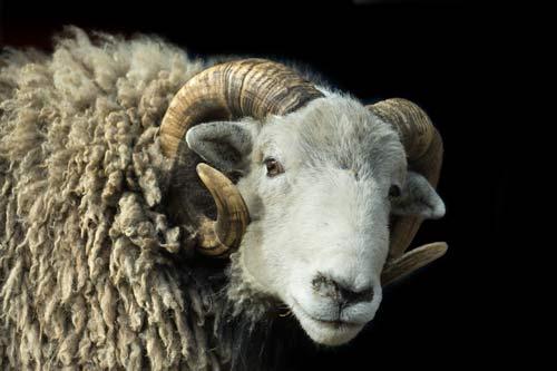 A Herdwick Sheep