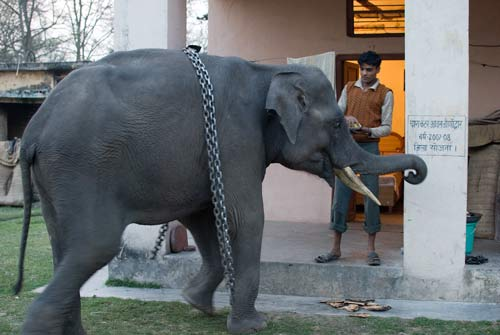 Indian Elephant Eating Roti