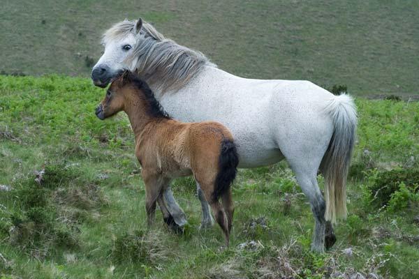 Dartmoor Ponies - A Quillcards Ecard