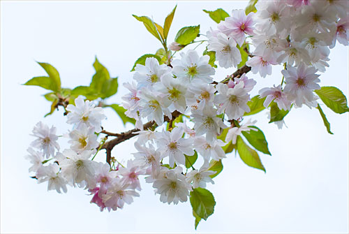 Cherry Blossom - A Quillcards Ecard