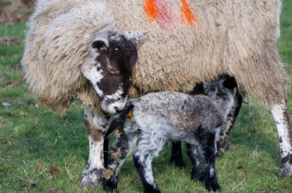 Ewe With Lamb In The Yorkshire Dales