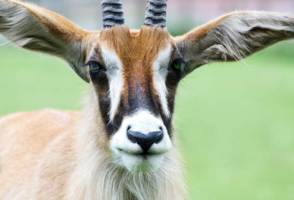 photo of a close up of a roan antelope