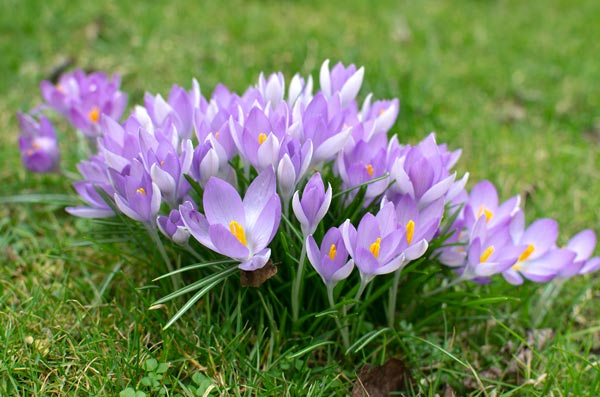 Crocuses On Bruntsfield Links in Edinburgh in February 2012