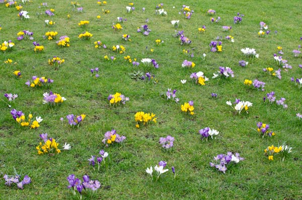Crocuses On Bruntsfield Links in Edinburgh