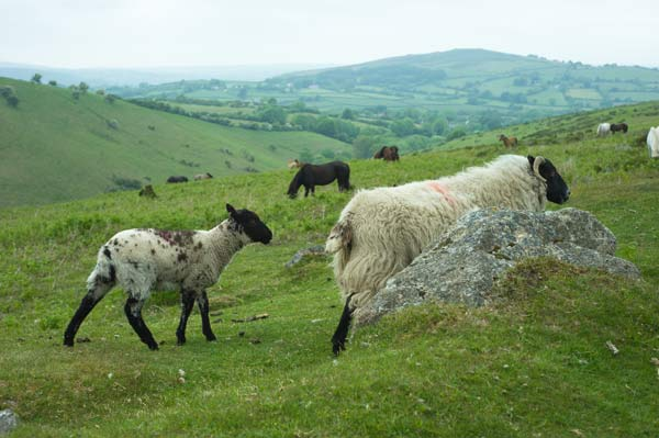 sheep and pony on Dartmoor