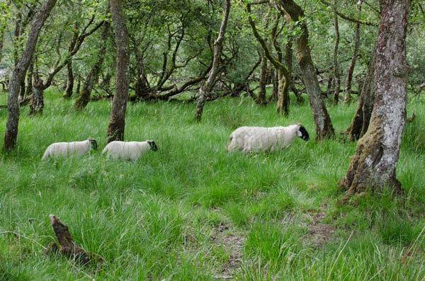 Sheep Among The Trees By Kilchurn Castle