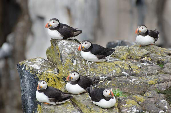 Puffins Resting Between Trips Out To Sea