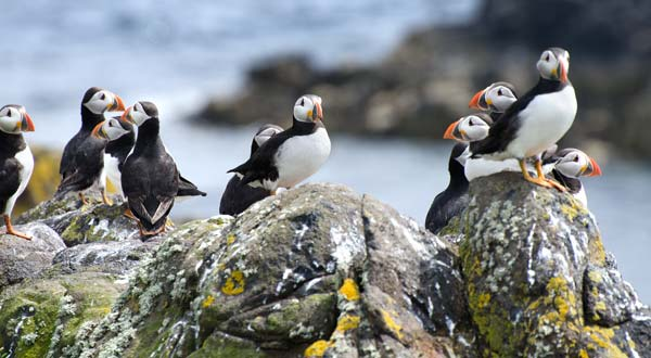Puffins Hanging Out With Their Pals