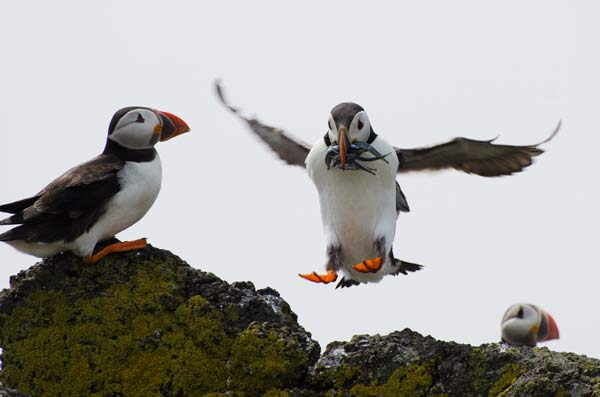 Puffin Coming In To Land With A Beak Full Of Sand Eels