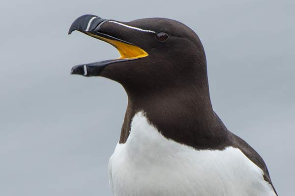 Razorbill On The Isle Of May - Close-Up