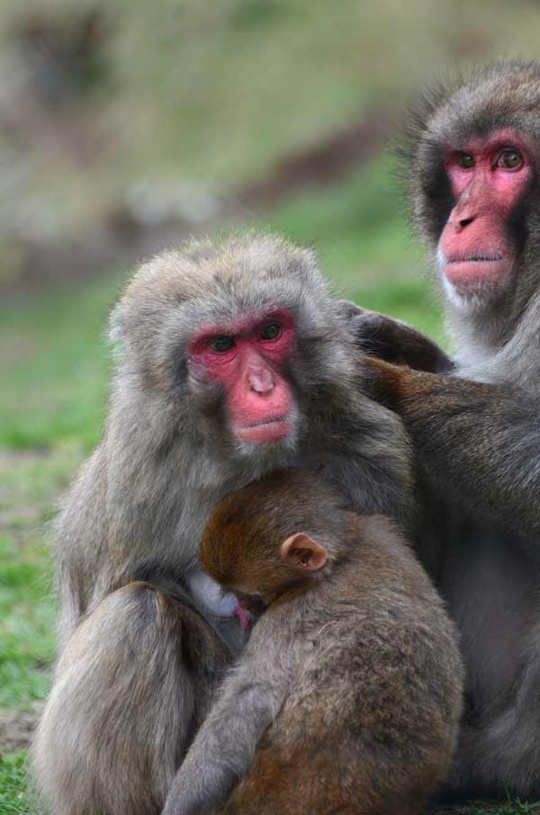 japanese-macaques
