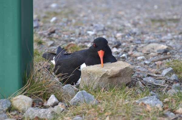 oystercatcher-in-the-cairngorms-highland-wildlife-park
