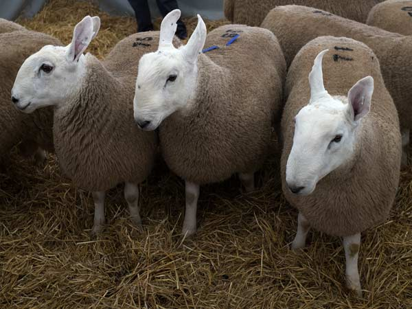 Trio of Blue-Faced Leicester Sheep Contemplating The World