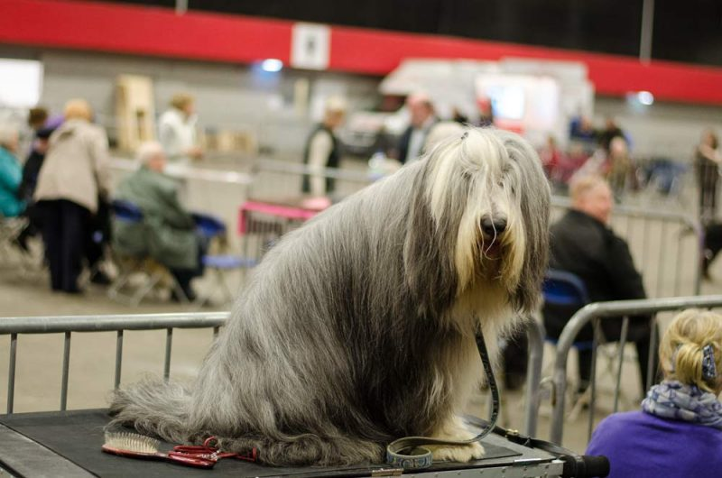 bearded-collie-on-the-table