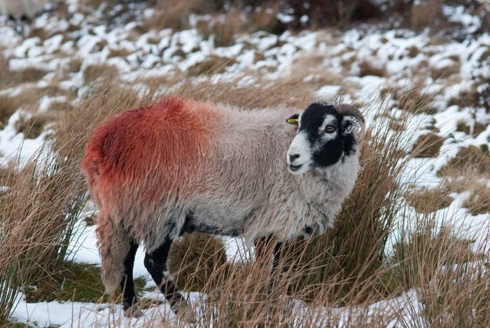 Swaledale ewe with red smit mark