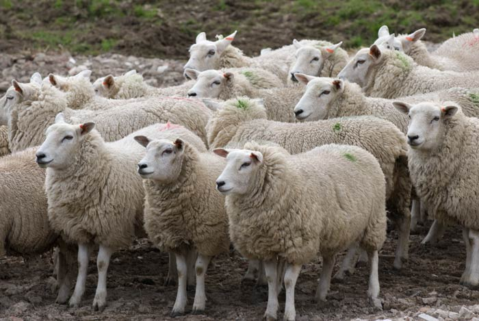 sheep-with-green-smit-marks