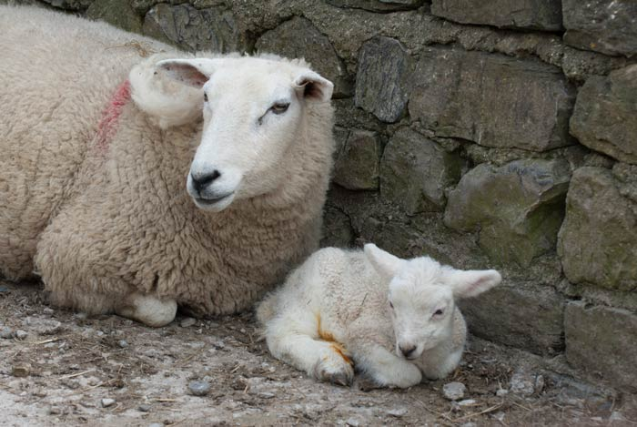 ewe with red smit mark and lamb