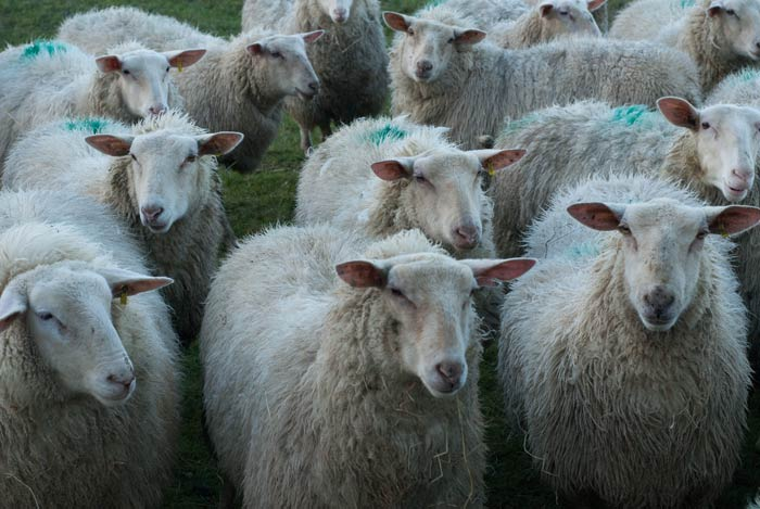 a flock of sheep with smit marks to identify the farm to which they belong