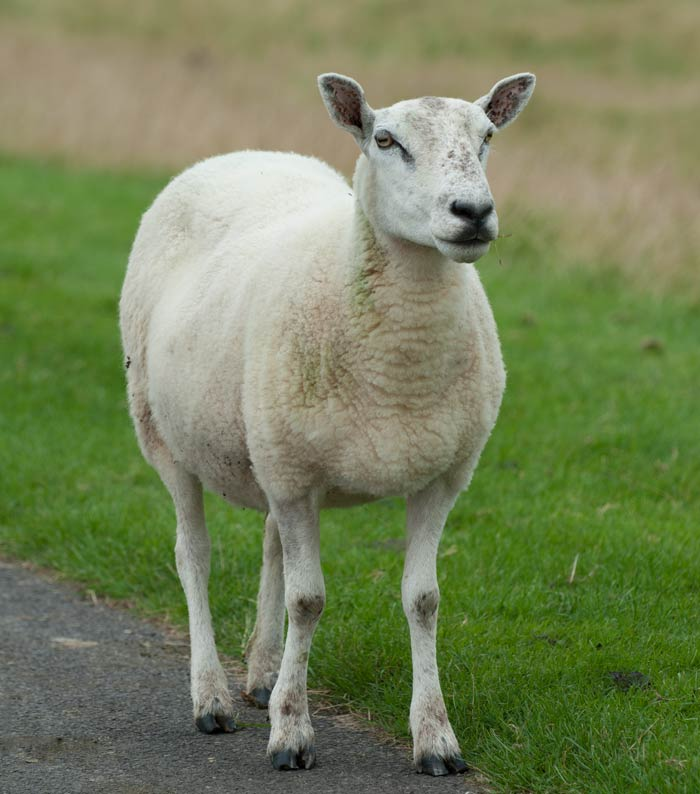 shorn sheep - what happened to my smit marks